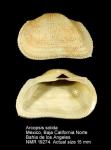 Arcopsis solida