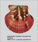 Argopecten irradians concentricus