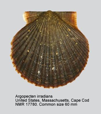 Argopecten irradians