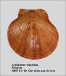Aequipecten lineolaris