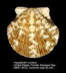 Argopecten nucleus