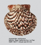 Argopecten ventricosus