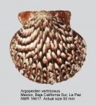 Pectinidae