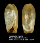 Ascobulla fragilis