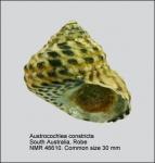 Austrocochlea constricta