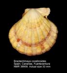 Bractechlamys corallinoides