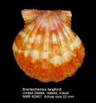 Bractechlamys langfordi