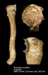 Brechites australis