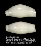 Cadulus gibbus