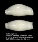 Gadilidae