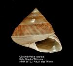 Callumbonella suturalis