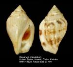 Canarium maculatum