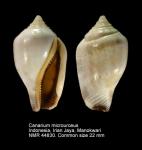 Canarium microurceus