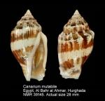 Canarium mutabile