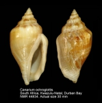 Canarium ochroglottis