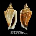 Canarium urceus incisum