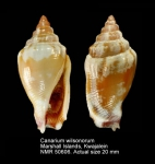 Canarium wilsonorum