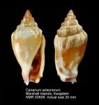 Canarium wilsonorum