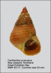 Cantharidus purpureus