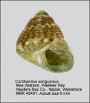 Cantharidus sanguineus