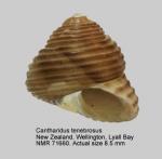 Cantharidus tenebrosus