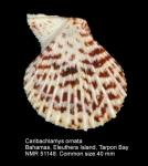 Caribachlamys ornata