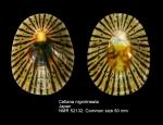 Cellana nigrolineata