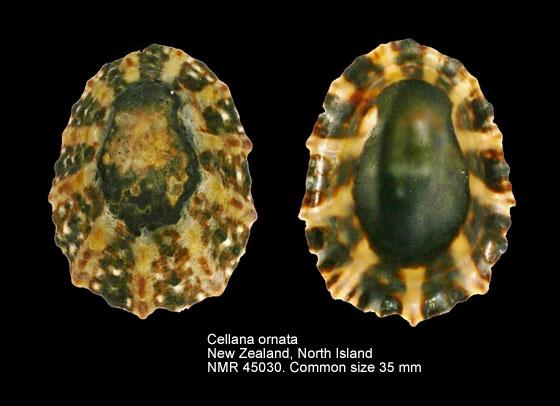 Cellana ornata