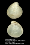 Cetomya tornata