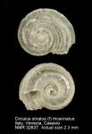 Circulus striatus
