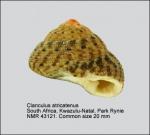 Clanculus atricatena