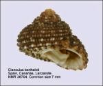 Clanculus berthelotii