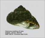 Clanculus corallinus