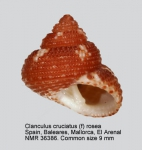 Clanculus cruciatus