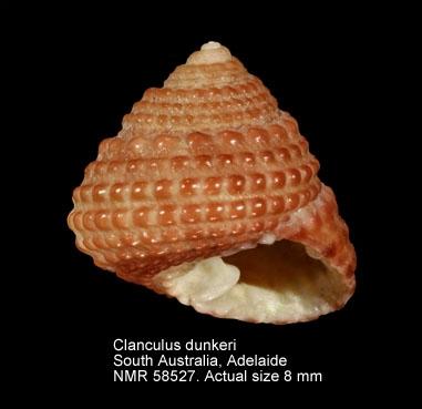 Clanculus dunkeri
