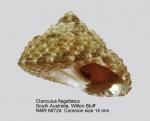 Clanculus flagellatus
