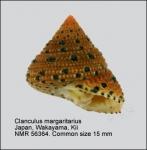 Clanculus margaritarius