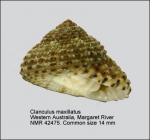 Clanculus maxillatus