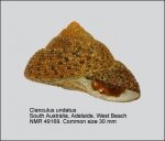 Clanculus undatus