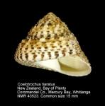 Coelotrochus tiaratus