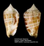 Conomurex decorus