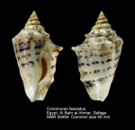 Conomurex fasciatus
