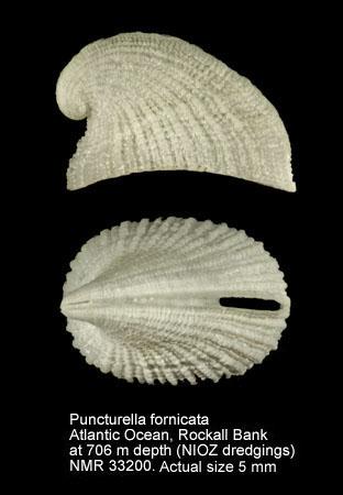 Cranopsis asturiana