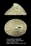 Cranopsis multistriata