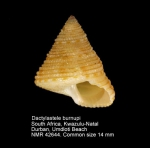 Dactylastele burnupi