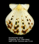 Decatopecten radula
