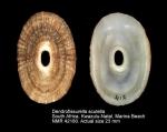 Dendrofissurella scutellum