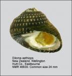 Diloma aethiops