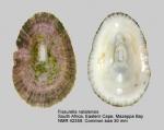 Fissurella natalensis