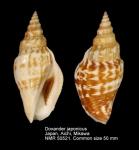 Doxander japonicus